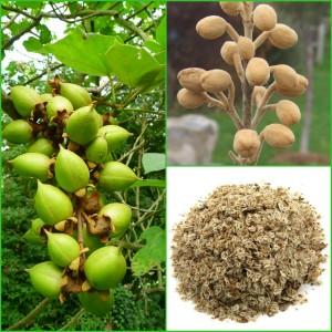 Paulownia Seeds
