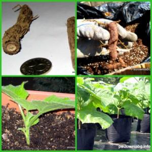 Paulownia root cuttings