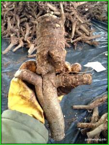 paulownia root